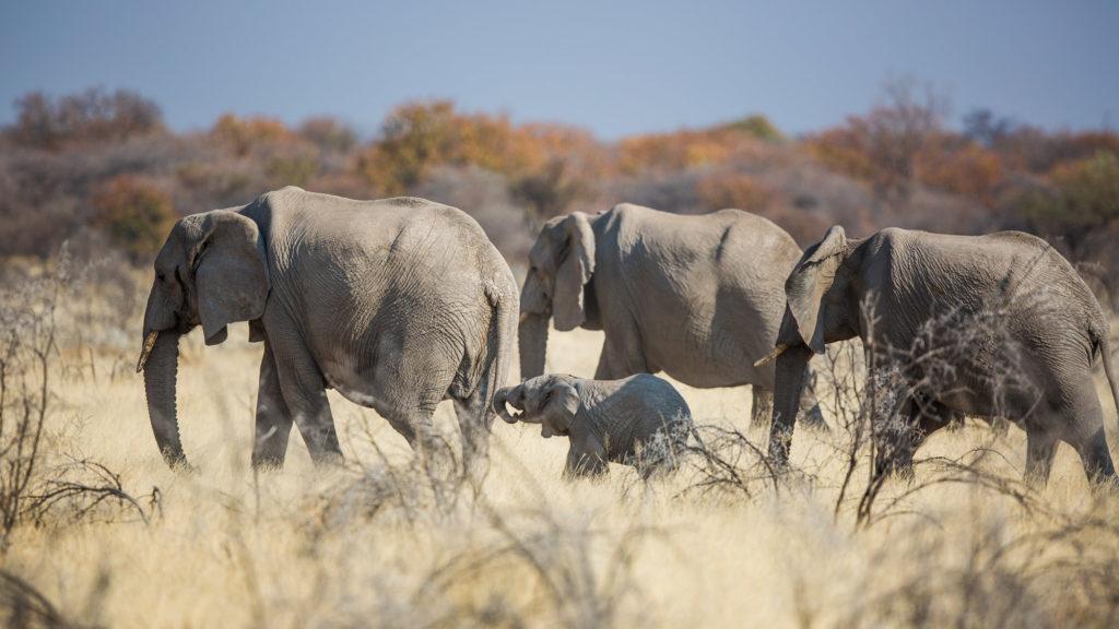 Słonie w Etoszy
