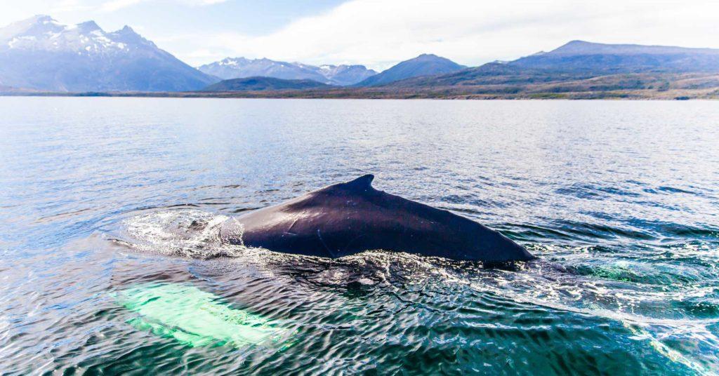 whales_strait_of_magellan-10