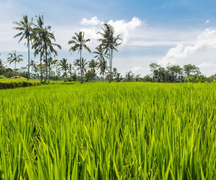Bali pole ryżowe
