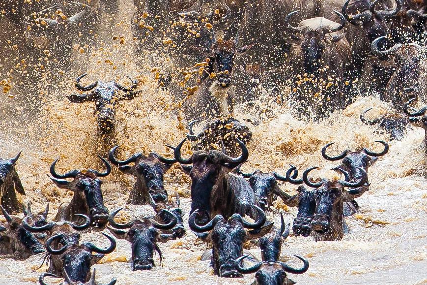Antylopy gnu nad rzeką Mara