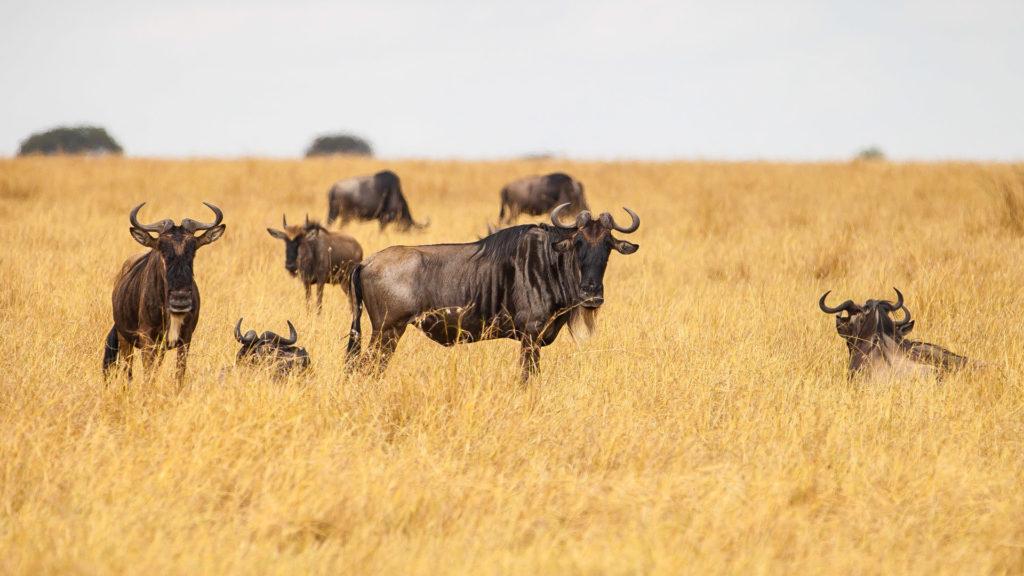 Antylopy gnu Serengeti