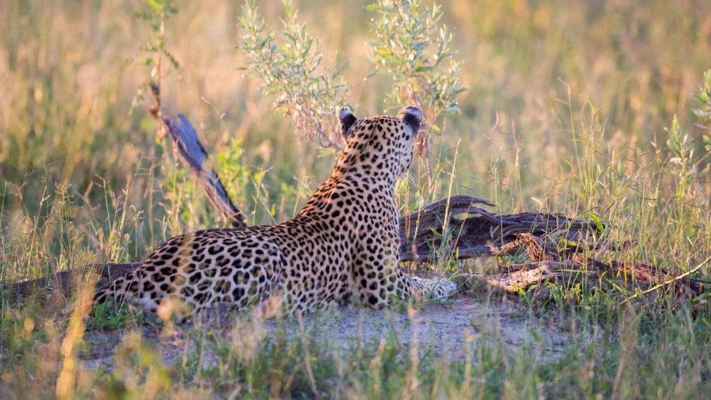 Savute Elephant Camp Leopard