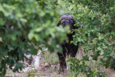 Savute Elephant Camp Buffalo