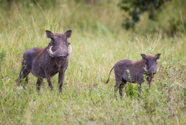 Savute Elephant Camp Warthogs