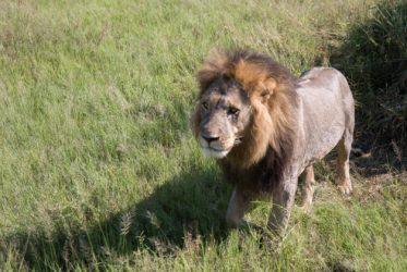 Savute Elephant Camp Lion