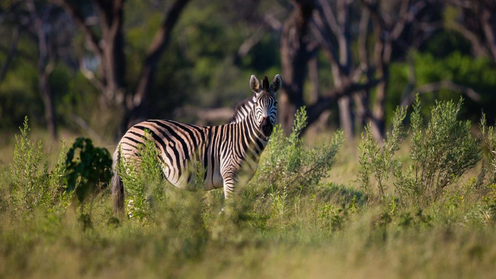 Savute Elephant Camp Zebra