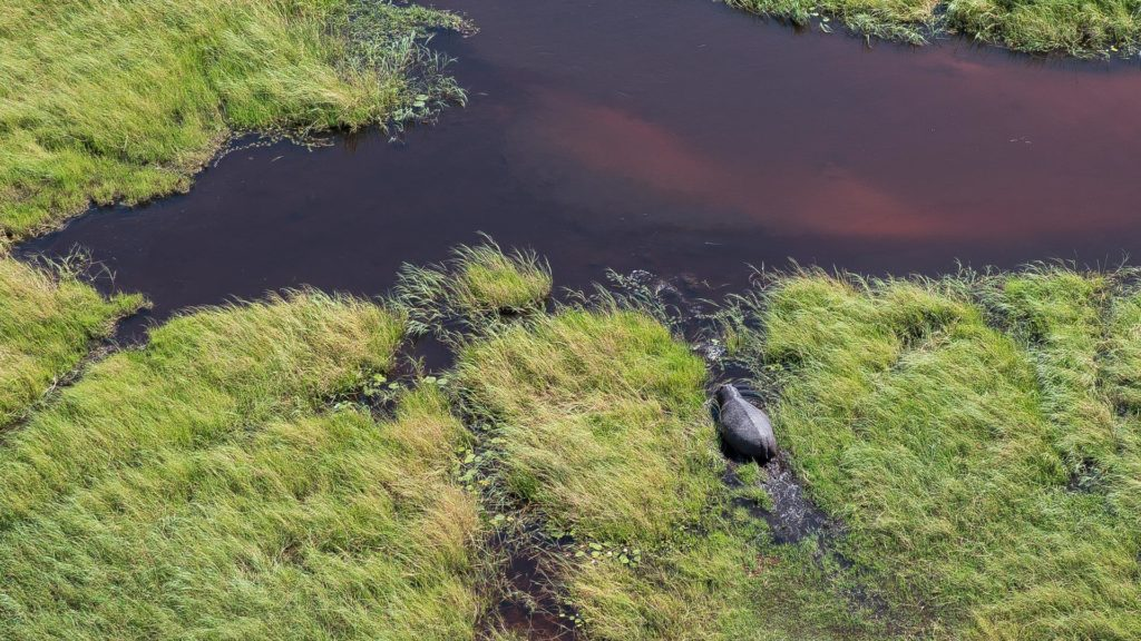 Okavango Hippopotamus from the air Belmond Safari