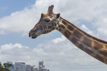 Giraffe Sydney Zoo Milesaway