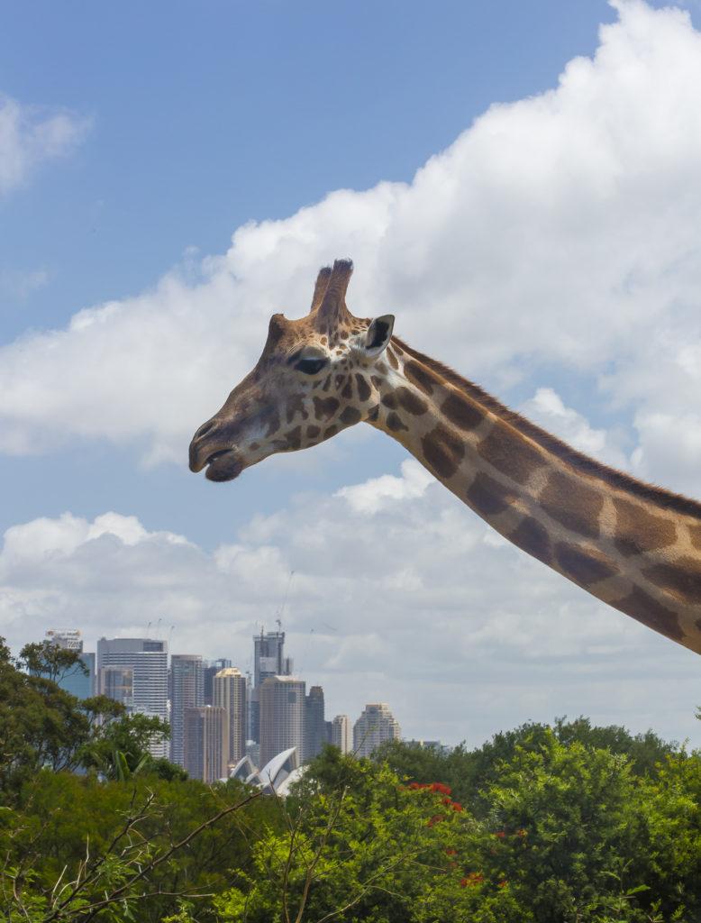 Giraffe_Sydney Australia dla poczatkujacych
