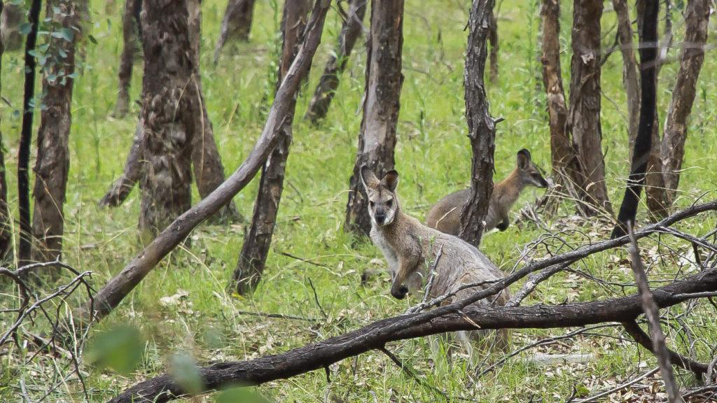 Kangaroo_Australia dla poczatkujacych