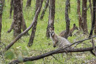 Kangaroo Blue Mountains Milesaway