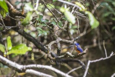 King Fisher Daintree River Milesaway Queensland