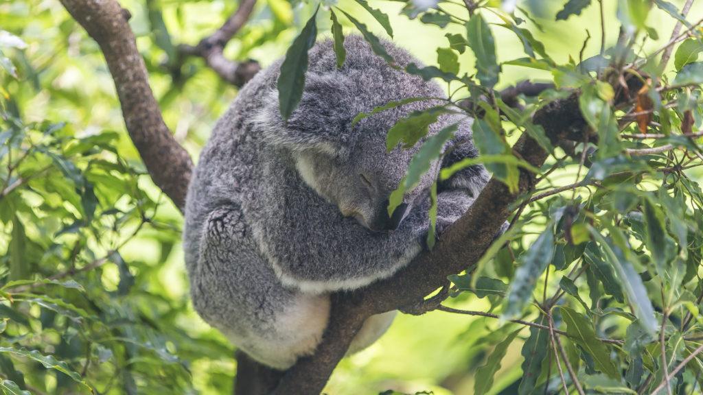 Koala_Australia dla poczatkujacych
