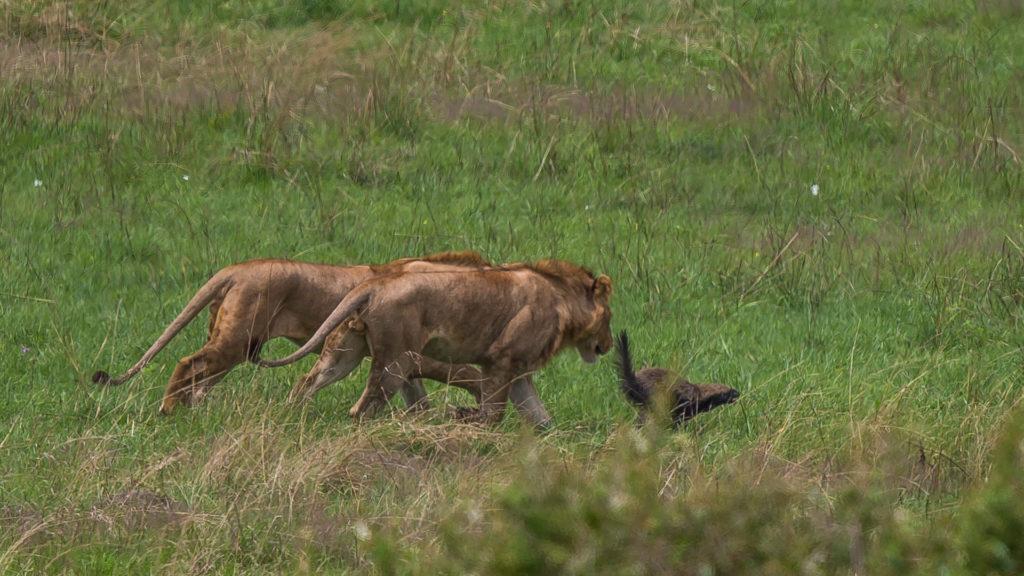 Młode lwy próbują zrobić szkodę ratelowi