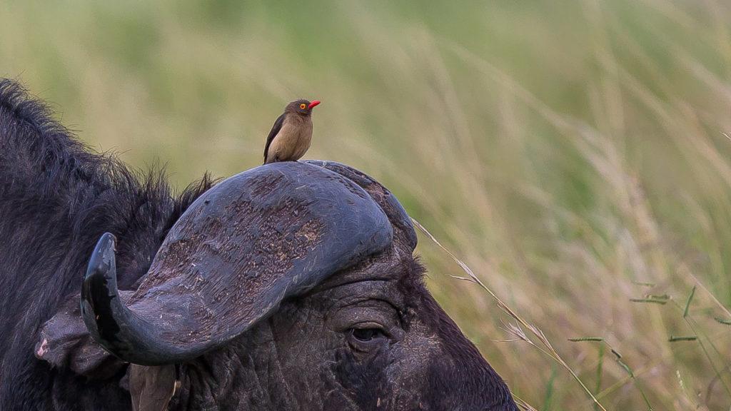 Bawół i jego przyjaciel