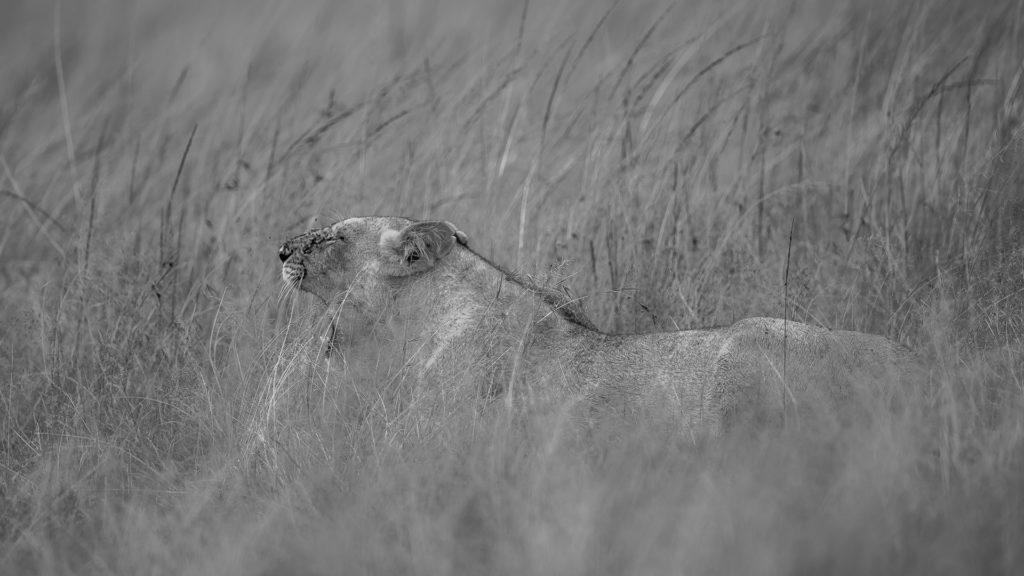 Lwica na polowaniu