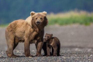 Grizzly Alaska
