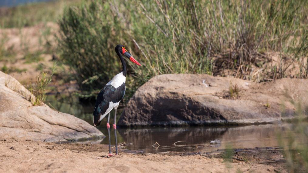 malamala Saddle-billed Stork