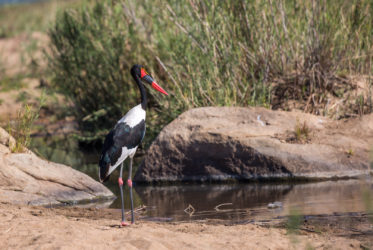 malamala Saddle-billed Stork