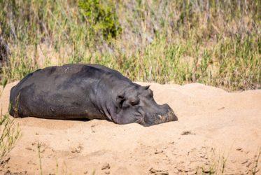 hippopotamus mala mala