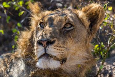 lion male mala mala