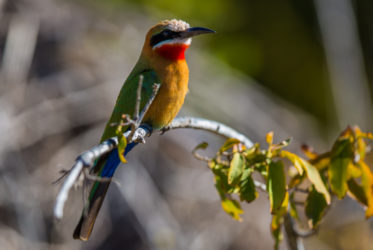 malamala Bee-eater