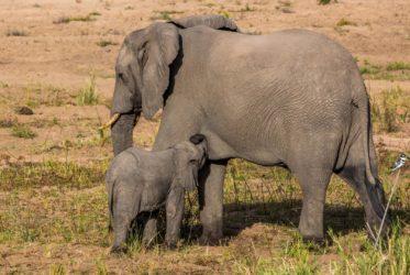 malamala elephants RPA