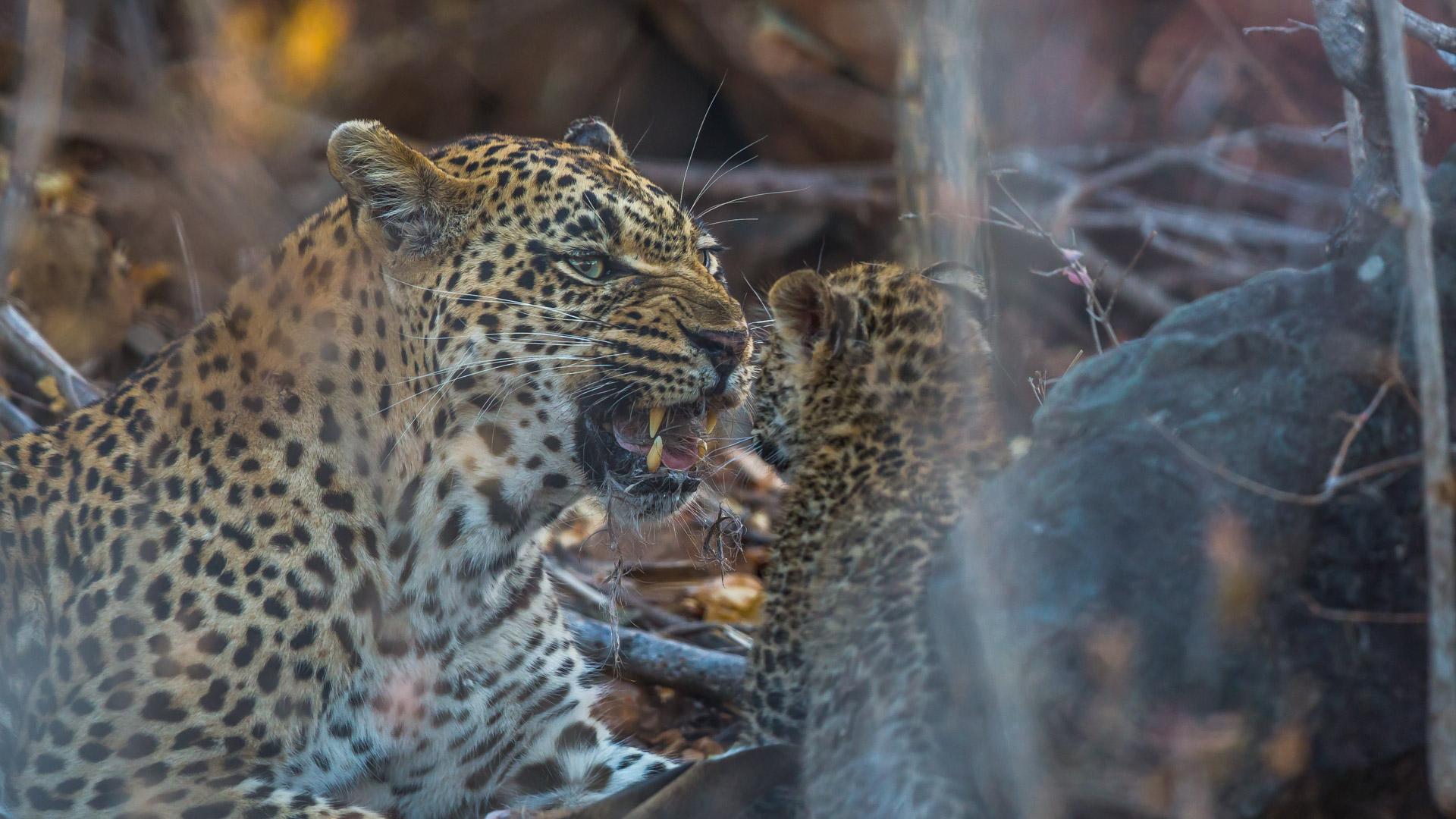 malamala female leopard & cub