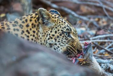 leopard female mala mala