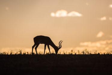 impala mala mala