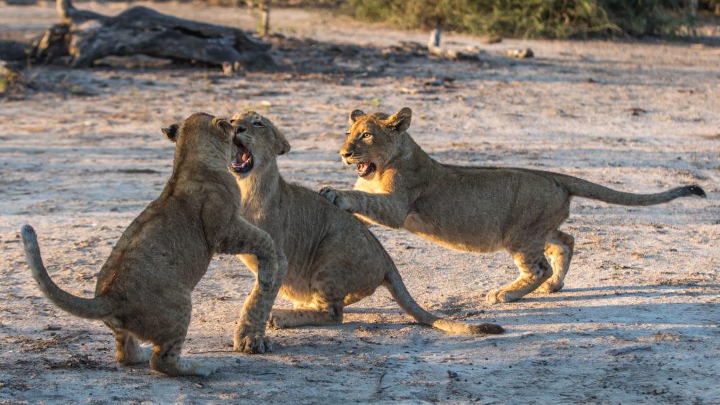 malamala lion cubs