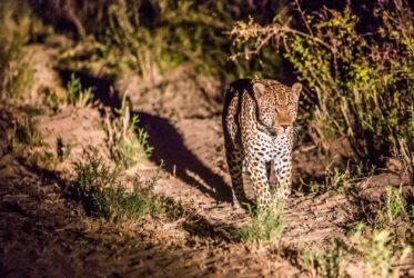 malamala male leopard