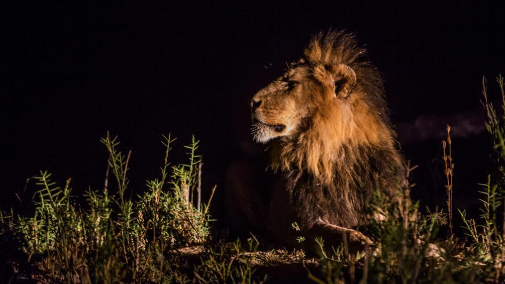 malamala lion at night