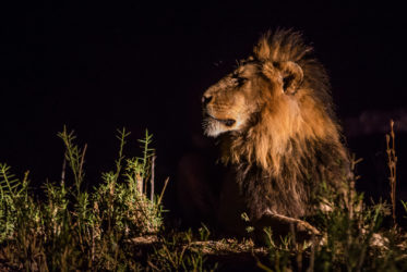 malamala lion at night