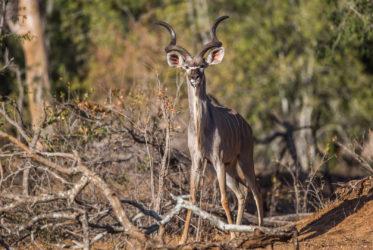 malamala kudu