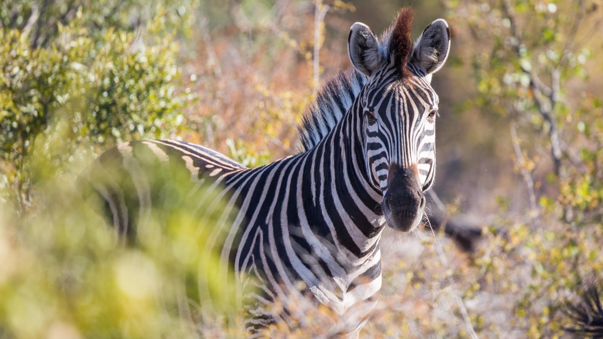 malamala zebra