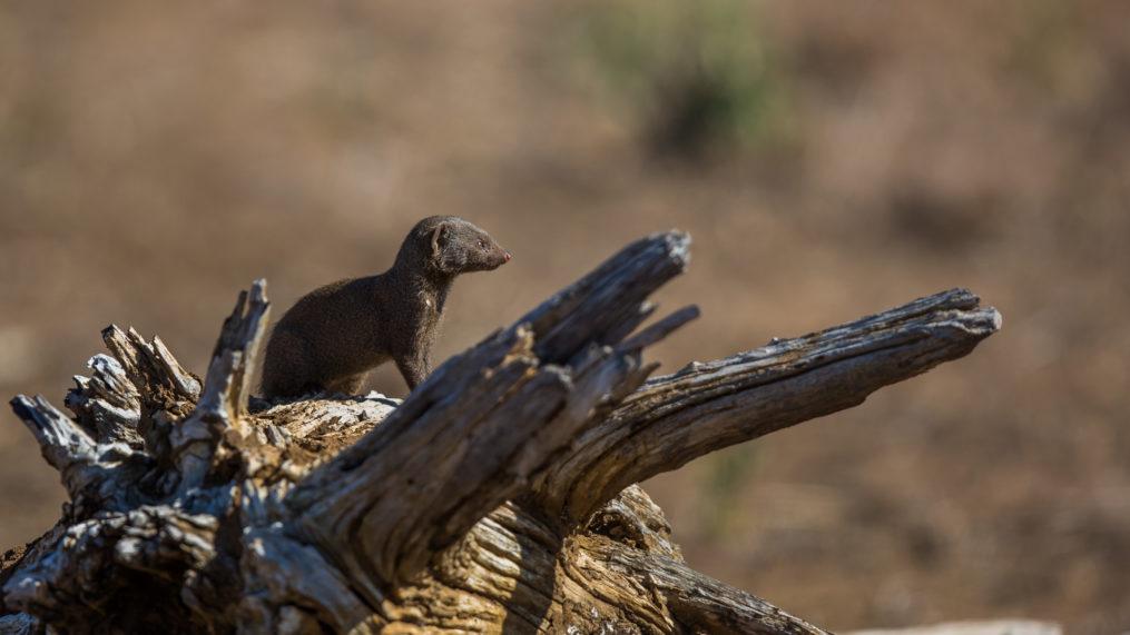 malamala mongoose