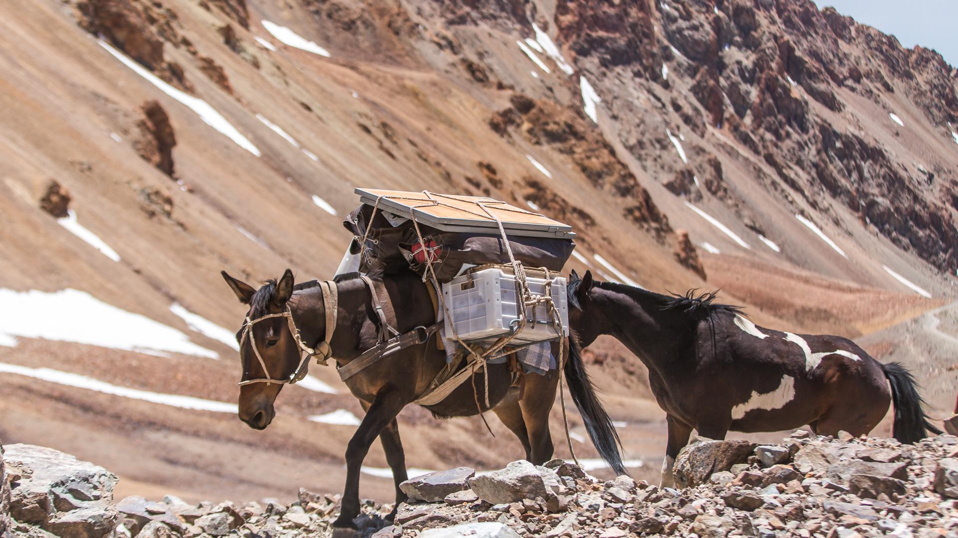 Nasze dzielne muły wchodzą na przełęcz. Andes crossing
