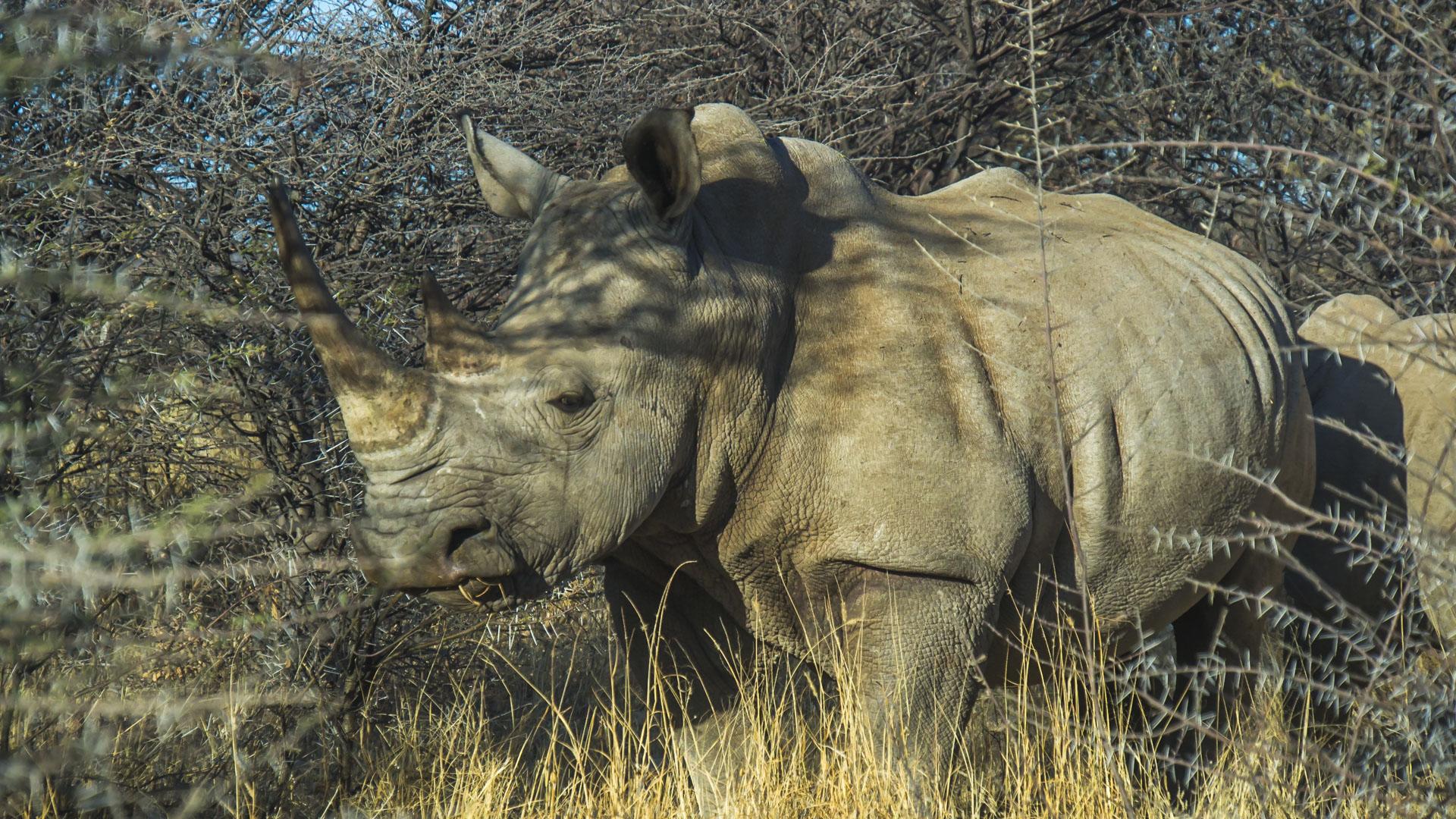 Nosorożec czarny. Prywatny Park Erindi
