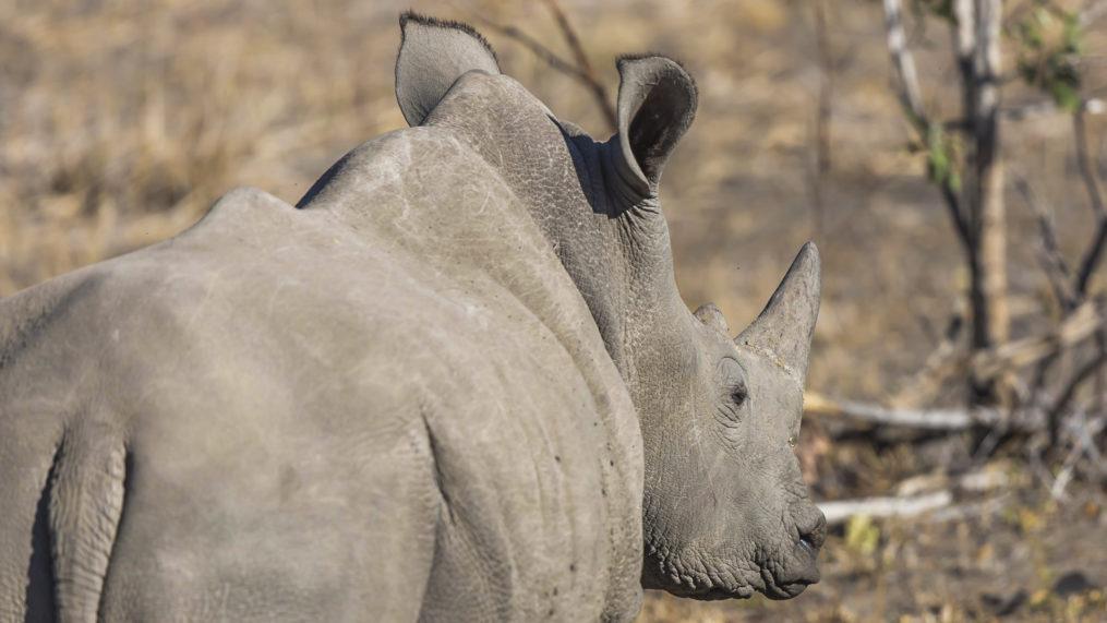 Nosorożec biały Private Concession Mala Mala