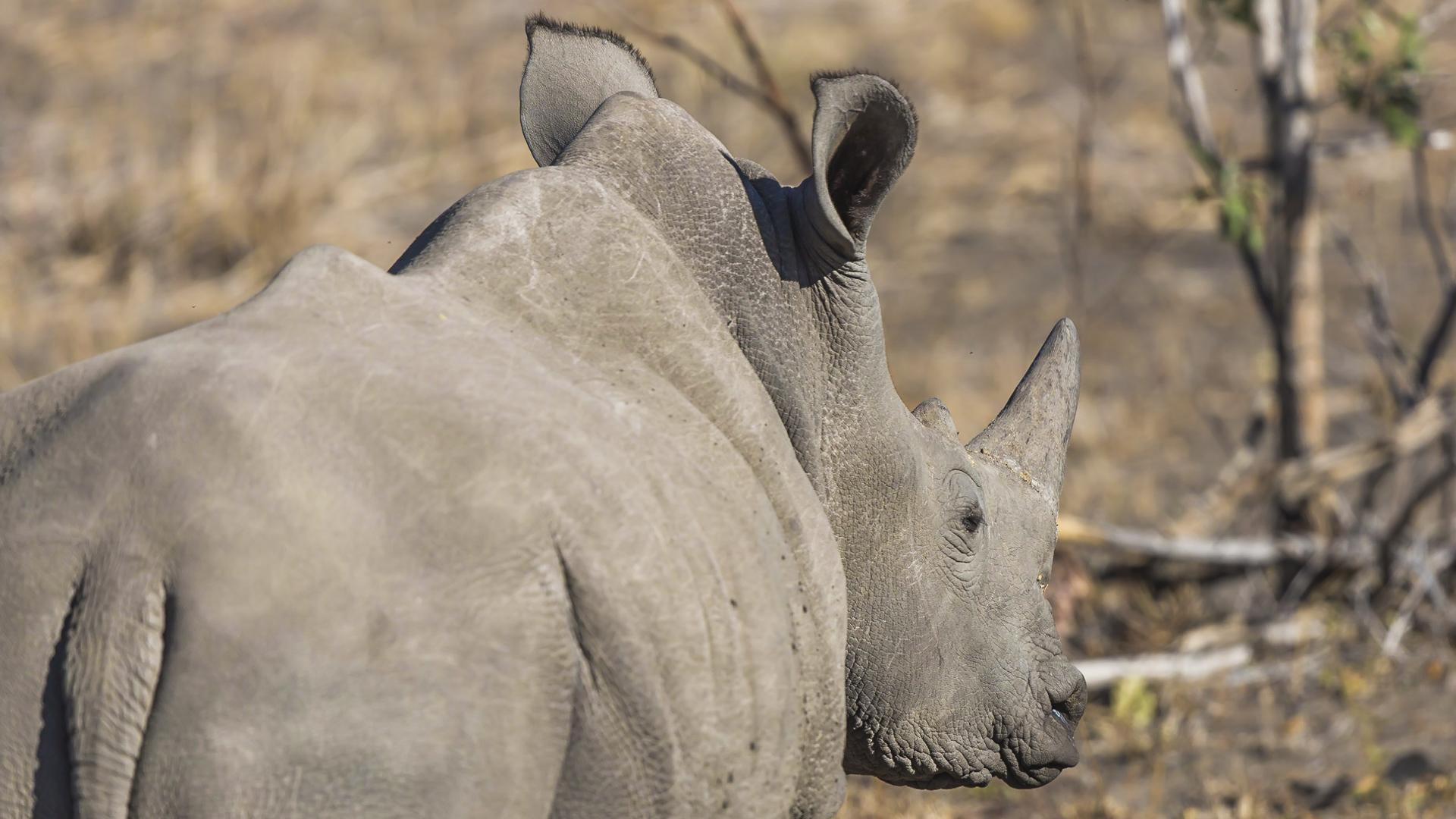 Nosorożec biały. Prywatny Rezerwat Mala Mala