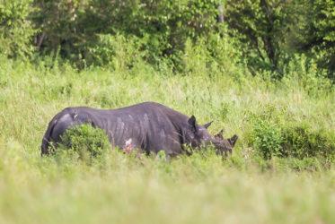 Black Rhino Masai Mara