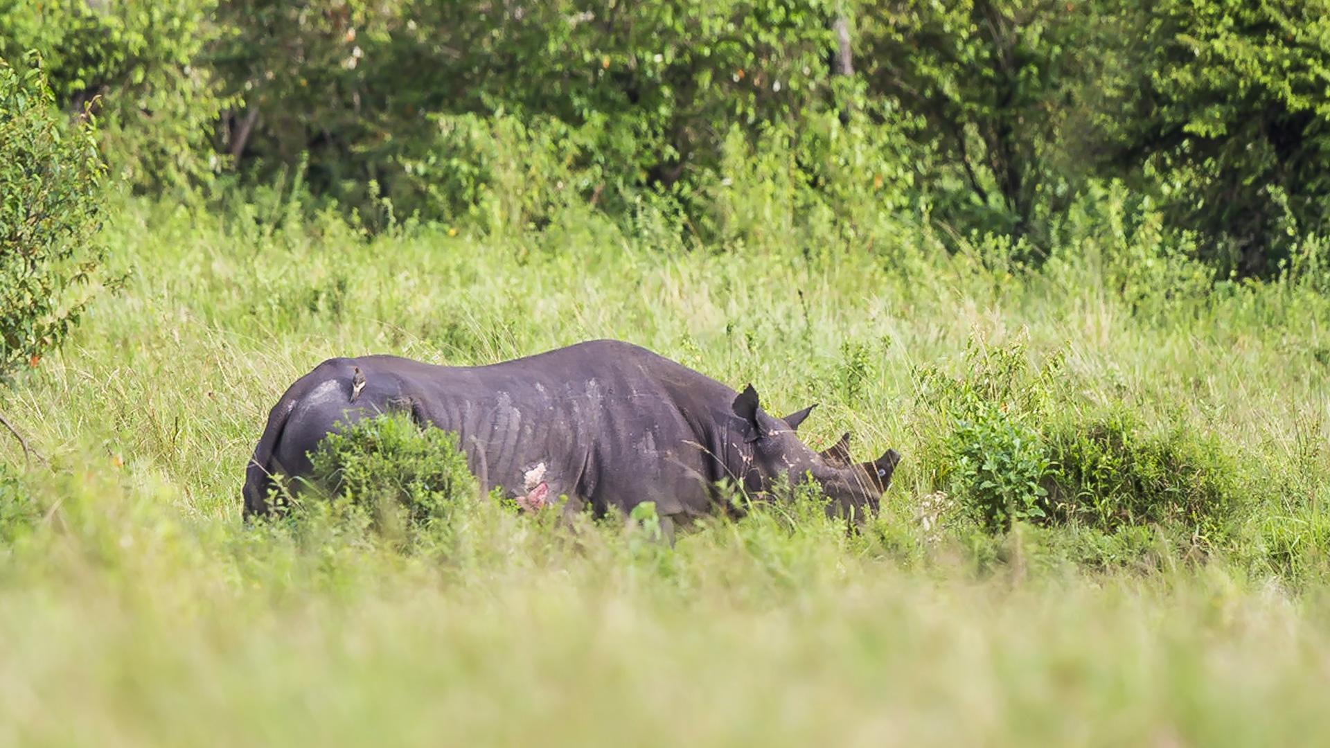 Nosorożec czarny. Masai Mara