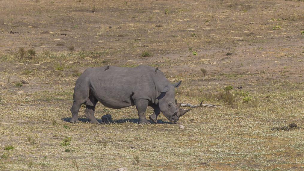 White Rhino Kruger National Park