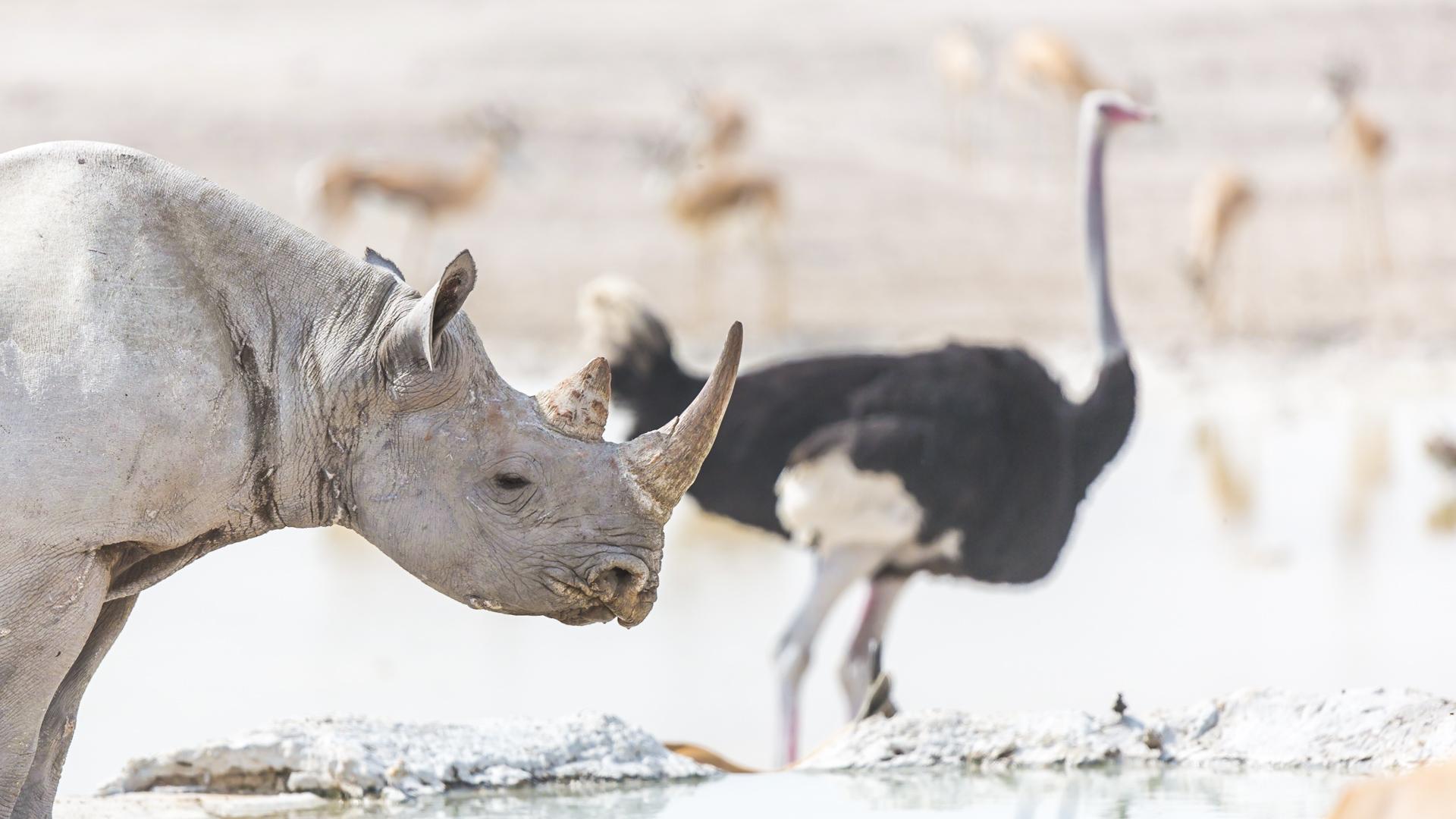 Nosorożec Czarny Park Etosza