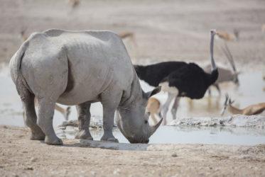 Black Rhino Etosha National Park