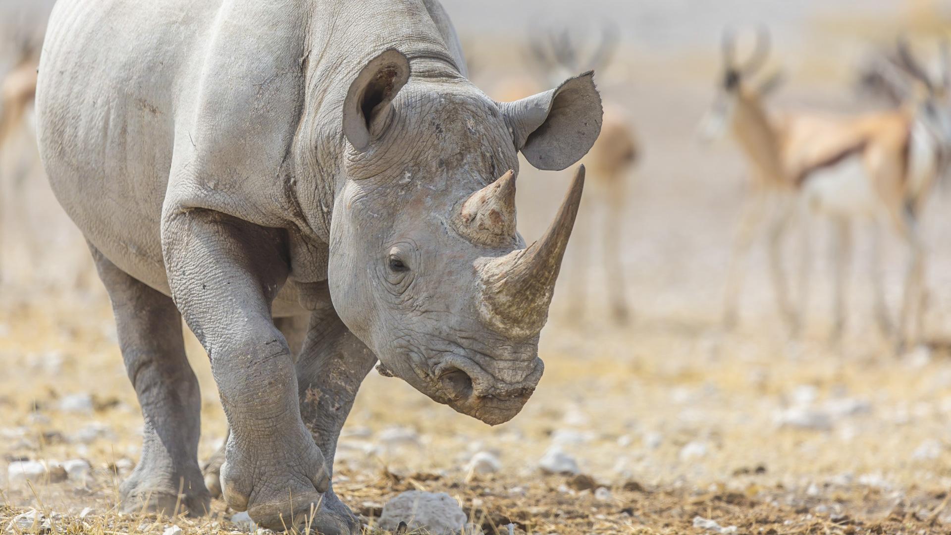 Nosorożec czarny. Park Narodowy Etosza
