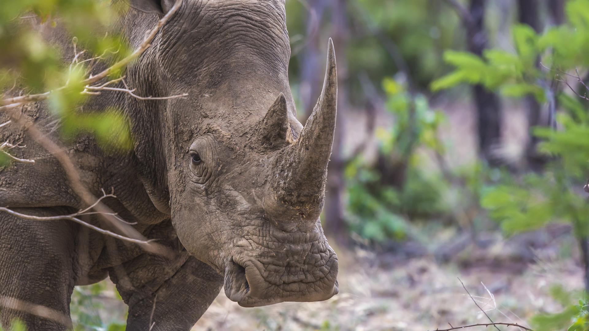 Nosorożec biały. Park Narodowy Krugera