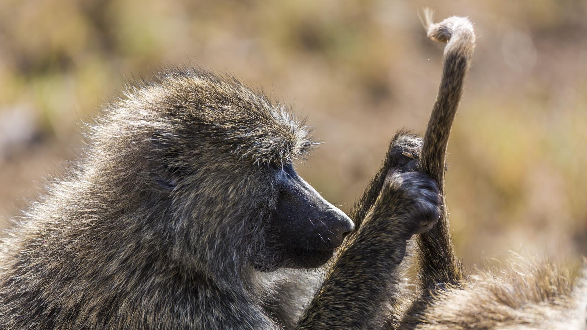 Busy baboon, Masai Mara