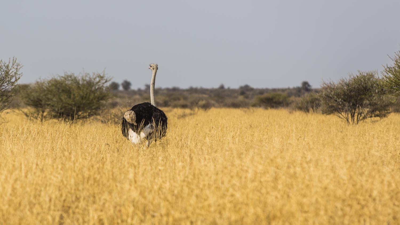 Struś na Kalahari